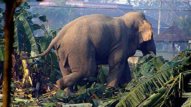 Photo of नवलपुरमा हात्तीको आक्रमणबाट माहुतेको ३६ वर्षीय हंसराजको मृत्यु