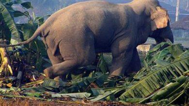 Photo of जङ्गली हात्तीको आक्र मणबाट महिलाको मृत्यु