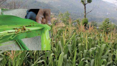 Photo of फौजी कीराको प्रकोप बढेपछि किसान चिन्तित