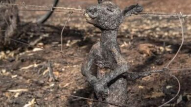 Photo of अस्ट्रेलियाको भयानक डढेलोमा ३ अर्ब जीवजन्तुले ज्यान गुमाए