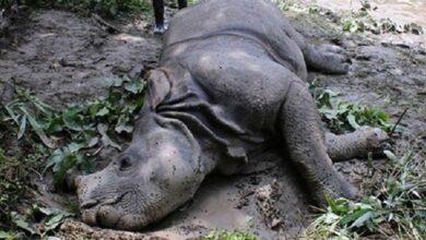 Photo of चितवन राष्ट्रिय निकुञ्जमा भाले गैँडा मृत फेला