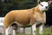 Photo of अपत्यारिलो तर सत्य, यो हो ५ करोड ७३ लाख रुपैयाँको भेडा