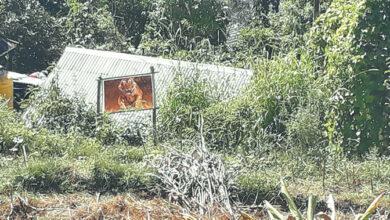 Photo of किसानको जुक्ति : बाँदर तर्साउन बाघको तस्बिर !