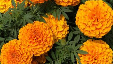 Photo of तिहारका लागि मेरिगोल्ड फूल फुलाउँदै भण्डारी दम्पती