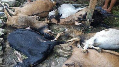 Photo of जुम्लामा अज्ञात रोगले धमाधम बाख्रा मर्न थालेपछि किसान चिन्तित