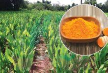 Photo of बेसारको पातबाट तेल निकाल्ने नयाँ प्रविधि शुरु, प्रति केजी एक हजार ५०० मा विक्री