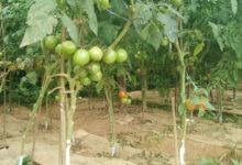 Photo of बजारमा गोलभेडाको मुल्य बढ्दा साना किसानको टनेलबाटै खोसाखोस