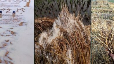Photo of बेमाैसमी वर्षाले तीन प्रदेशमा दुई लाख ५८ हजार मेट्रिकटन धान नष्ट